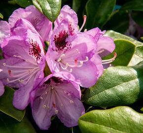 Pěnišník 'Blue Jay' - Rhododendron 'Blue Jay'