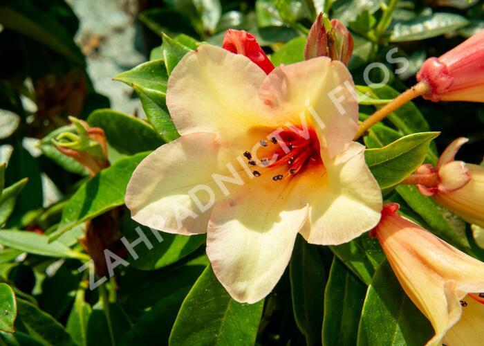 Pěnišník 'Jingle Bell' - Rhododendron 'Jingle Bell'