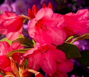 Pěnišník 'Winsome' - Rhododendron 'Winsome'