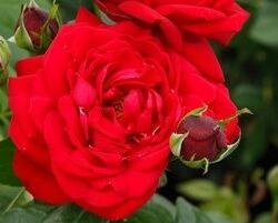 Růže velkokvětá Kordes 'Tiamo' - Rosa VK 'Tiamo'