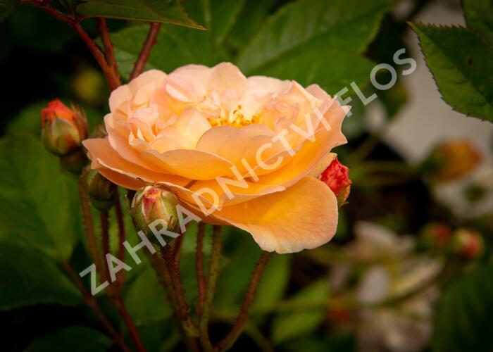 Růže pnoucí 'Ghislaine de Féligonde' - Rosa PN 'Ghislaine de Féligonde'