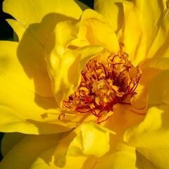 Růže pnoucí 'Golden Showers' - Rosa PN 'Golden Showers'