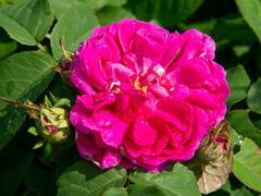 Růže mnohokvětá 'Rose de Rescht' - Rosa MK 'Rose de Rescht'