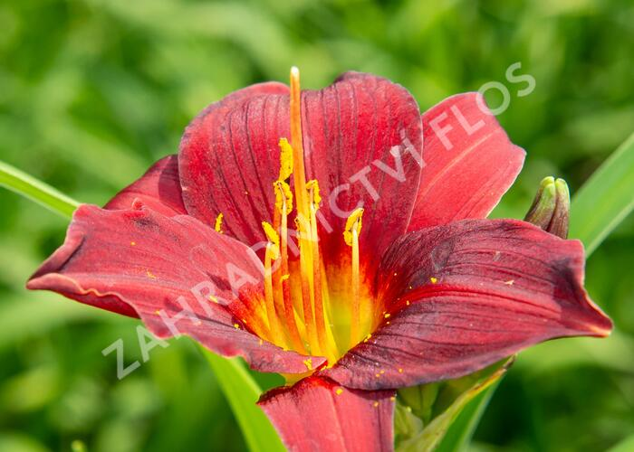 Denivka 'Ruby Stella' - Hemerocallis 'Ruby Stella'