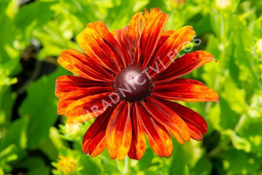 Třapatka 'Summerdaisy's Bronze Bicolor' - Rudbeckia hybrida 'Summerdaisy's Bronze Bicolor'