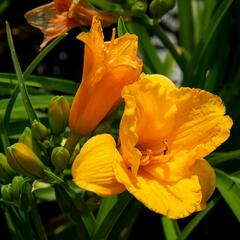 Denivka 'Clarion Gold' - Hemerocallis 'Clarion Gold'