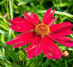 Krásnoočko 'Bloomsation Dragon' - Coreopsis rosea 'Bloomsation Dragon'
