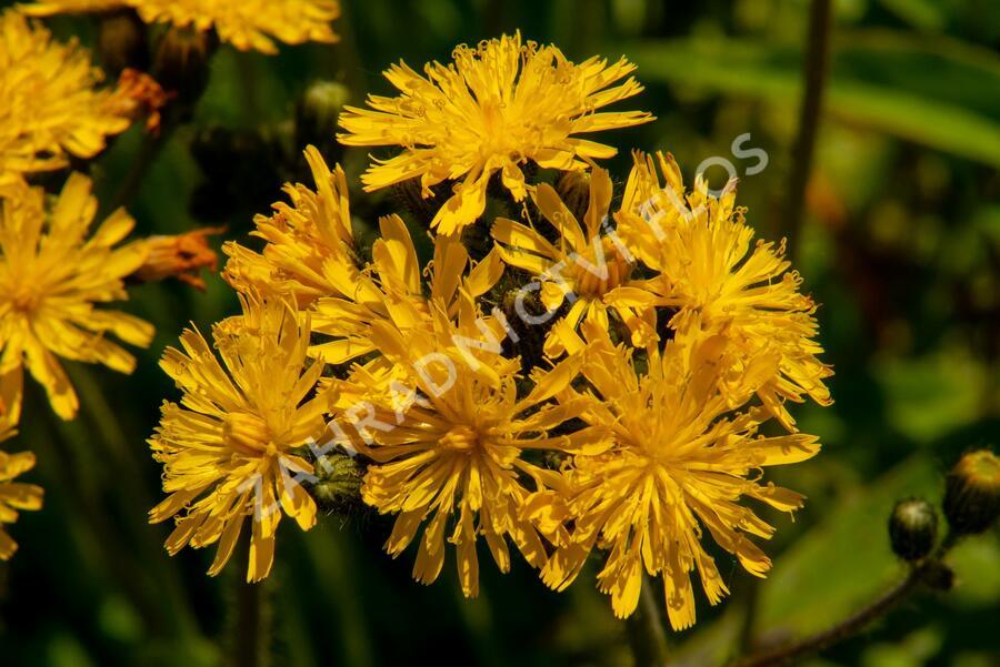 Jestřábník huňatý - Hieracium villosum