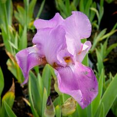 Kosatec německý 'Lavanesque' - Iris barbata-elatior 'Lavanesque'