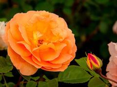 Růže mnohokvětá 'Schöne vom See' - Rosa MK 'Schöne vom See'