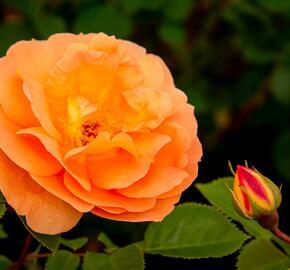 Růže mnohokvětá Kordes 'Schöne vom See' - Rosa MK 'Schöne vom See'