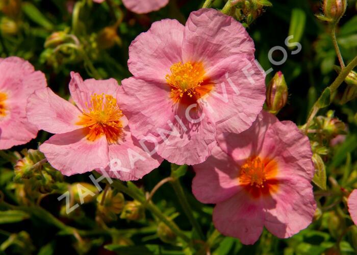 Devaterník 'Lawrenson's Pink' - Helianthemum 'Lawrenson's Pink'