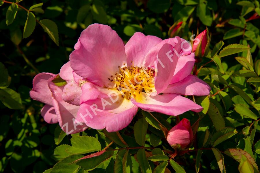 Růže parková 'Marguerite Hilling' - Rosa S 'Marguerite Hilling'