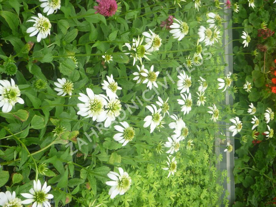 Třapatka nachová 'Milchshake' - Echinacea purpurea 'Milchshake'