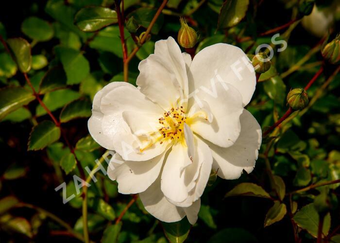Růže mnohokvětá 'Schneekönigin' - Rosa MK 'Schneekönigin'