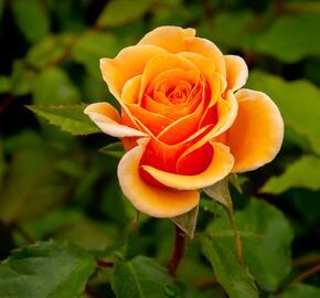 Růže mnohokvětá Kordes 'Sweet Honey' - Rosa MK 'Sweet Honey'