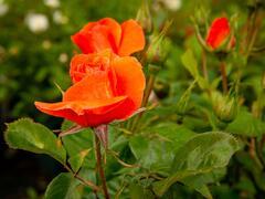 Růže pnoucí 'Newsflash' - Rosa PN 'Newsflash'