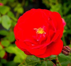 Růže mnohokvětá Meilland 'Rote Woge' - Rosa MK 'Rote Woge'