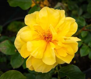 Růže mnohokvětá 'Goldschatz' - Rosa MK 'Goldschatz'