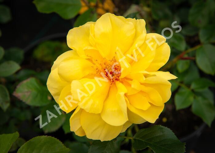 Růže mnohokvětá Tantau 'Goldschatz' - Rosa MK 'Goldschatz'