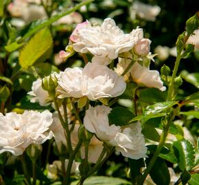 Růže půdopokryvná 'Crystal Fairy' - Rosa PK 'Crystal Fairy'