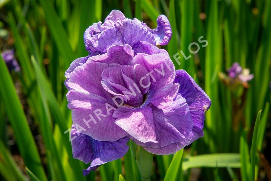 Iris sibirica 'Having Fun' - Iris sibirica 'Having Fun'