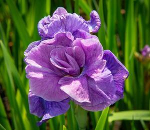 Iris sibirica 'Having Fun' - Iris sibirica 'Having Fun'