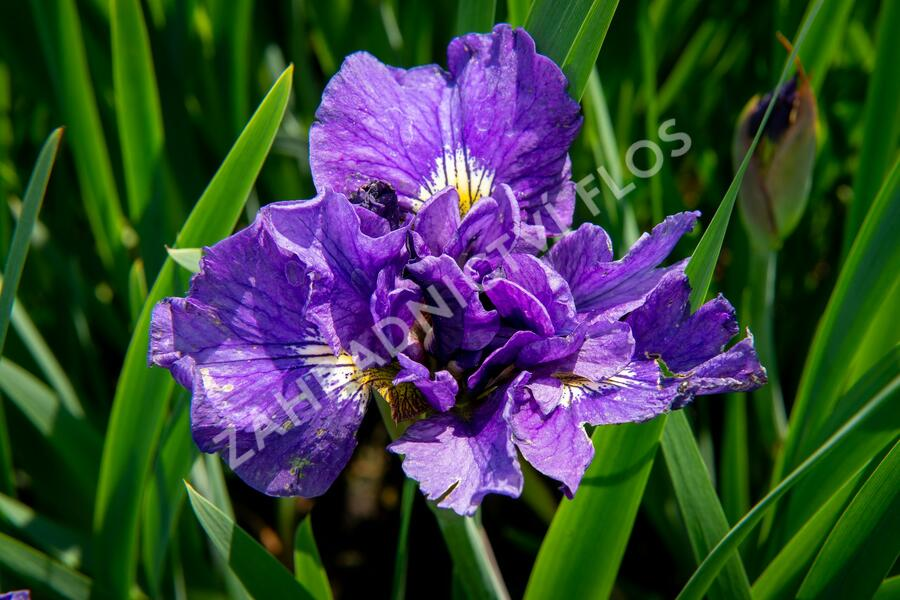 Kosatec sibiřský 'Bundle Of Joy' - Iris sibirica 'Bundle Of Joy'