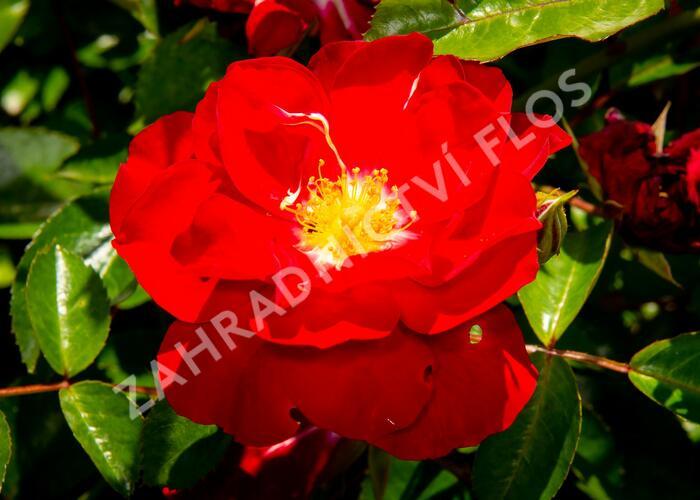 Růže mnohokvětá Kordes 'Mainaufeuer' - Rosa MK 'Mainaufeuer'