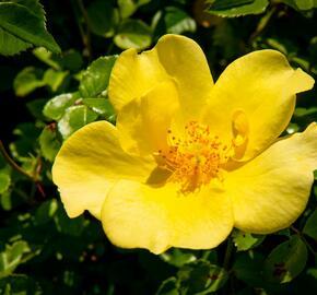 Růže mnohokvětá Meilland 'Pretty Star' - Rosa MK 'Pretty Star'