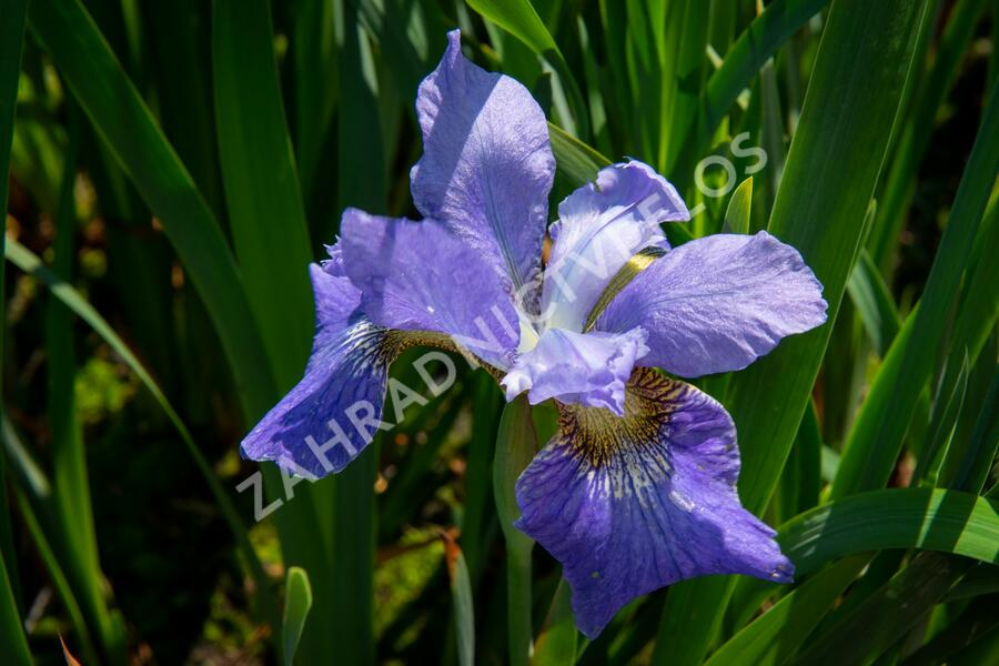 Kosatec sibiřský 'Golden Edge' - Iris sibirica 'Golden Edge'