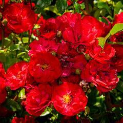 Růže půdopokryvná 'Fairy Dance' - Rosa PK 'Fairy Dance'