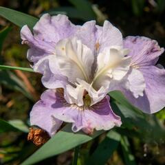 Kosatec sibiřský 'Dawn Waltz' - Iris sibirica 'Dawn Waltz'