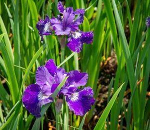 Iris sibirica 'Shirley Pope' - Iris sibirica 'Shirley Pope'