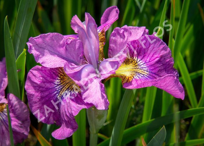 Iris sibirica 'See Ya Later' - Iris sibirica 'See Ya Later'