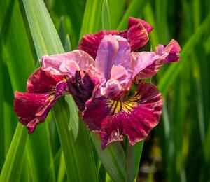 Iris sibirica 'Miss Apple' - Iris sibirica 'Miss Apple'