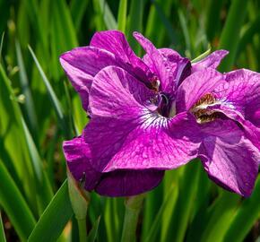 Kosatec sibiřský 'Ruffled Plus' - Iris sibirica 'Ruffled Plus'