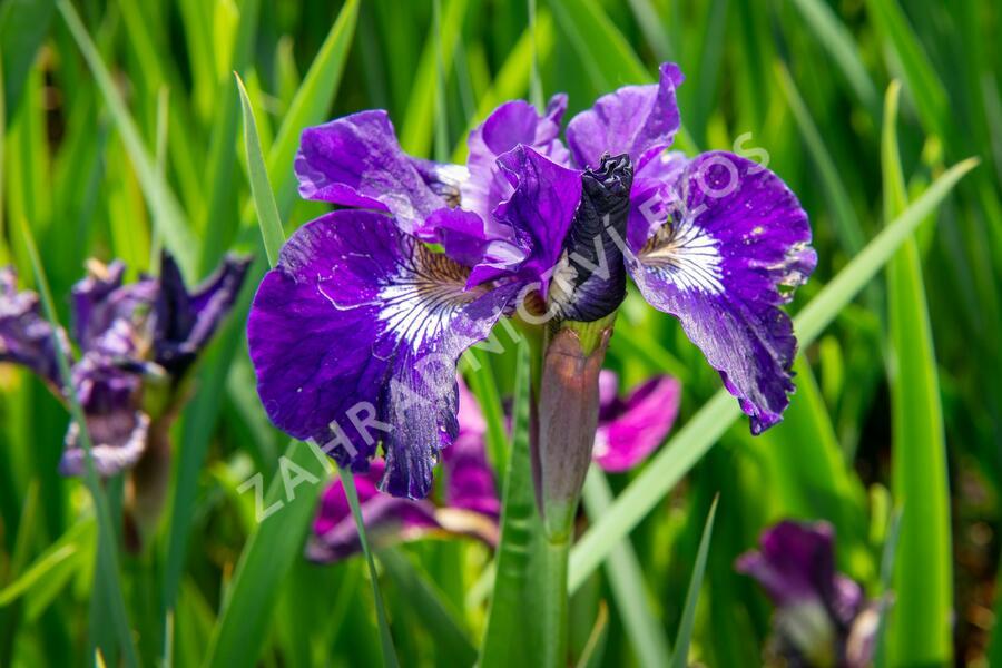 Kosatec sibiřský 'Roaring Jelly' - Iris sibirica 'Roaring Jelly'