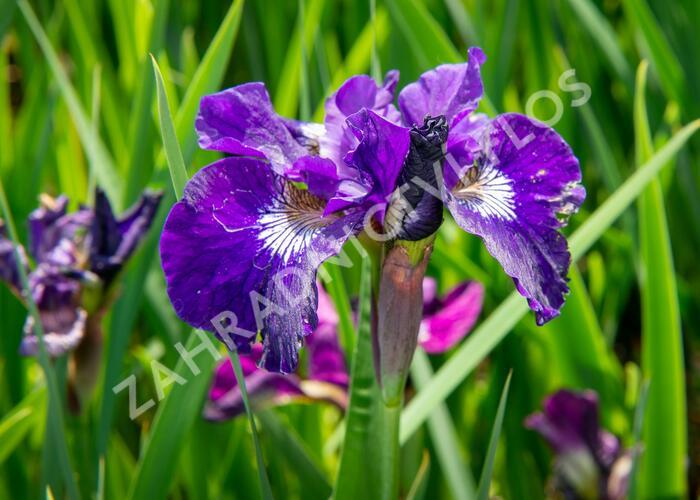 Iris sibirica 'Roaring Jelly' - Iris sibirica 'Roaring Jelly'