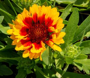 Gaillardia aristata 'Spin Top Red Starburst' - Gaillardia aristata 'Spin Top Red Starburst'