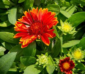 Kokarda osinatá 'Spin Top Yellow Touch' - Gaillardia aristata 'Spin Top Yellow Touch'