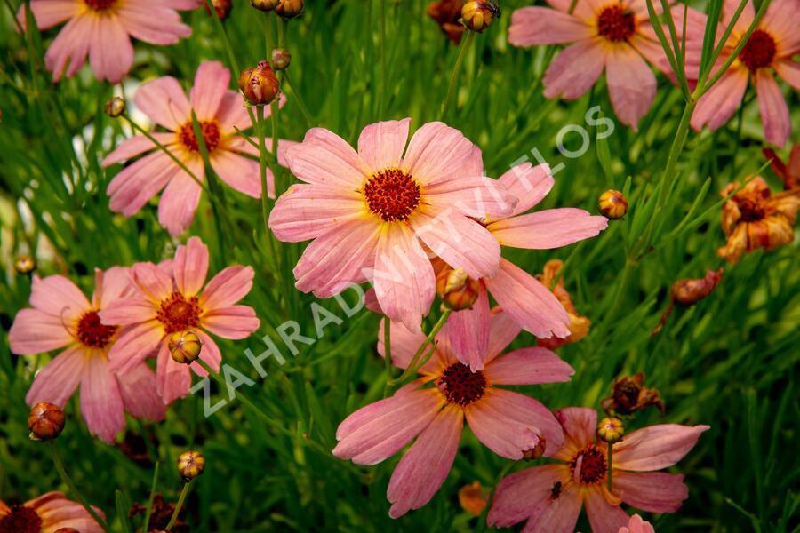 Krásnoočko 'Shades of Rose' - Coreopsis rosea 'Shades of Rose'