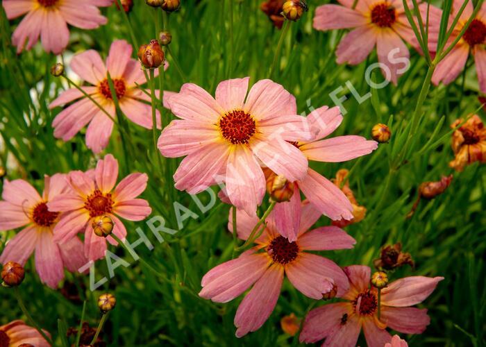 Krásnoočko - Coreopsis rosea 'Shades of Rose'