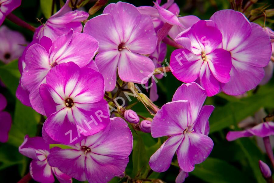 Plameka latnatá 'Flame Pro Lilac' - Phlox paniculata 'Flame Pro Lilac'