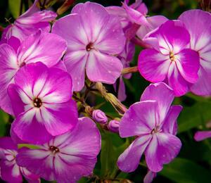 Plamenka latnatá 'Flame Pro Lilac' - Phlox paniculata 'Flame Pro Lilac'