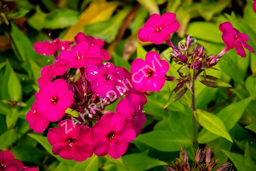 Phlox paniculata 'Early Magenta' - Phlox paniculata 'Early Magenta'