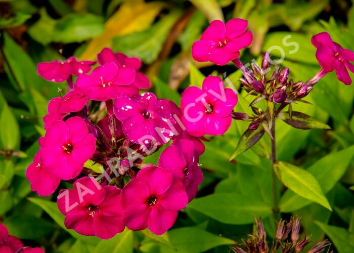 Plamenka latnatá 'Early Magenta' - Phlox paniculata 'Early Magenta'