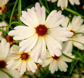 Krásnoočko 'Bloomsation Chameleon' - Coreopsis rosea 'Bloomsation Chameleon'