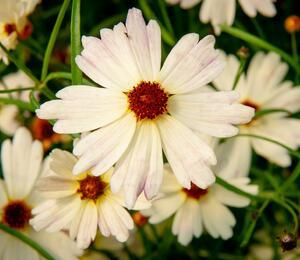 Krásnoočko - Coreopsis rosea 'Bloomsation Chameleon'