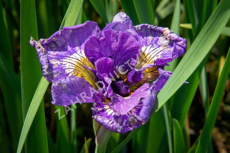 Kosatec sibiřský 'Double Standard' - Iris sibirica 'Double Standard'